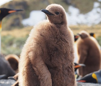 king penguin chick Gold Harbour South Georgia - Hayley Crowden