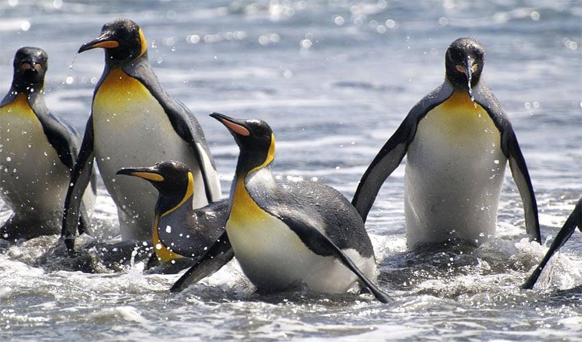 south-georgia-kings-penguins