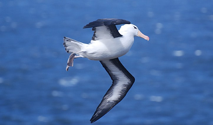 blac-browed-albatross
