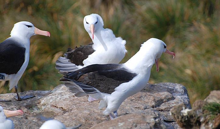 black browed albatross courtship