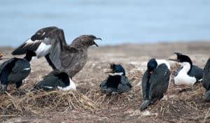 skua-and-king-cormorant