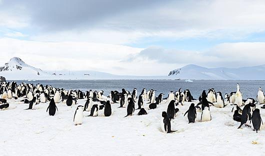 antarctica-penguins