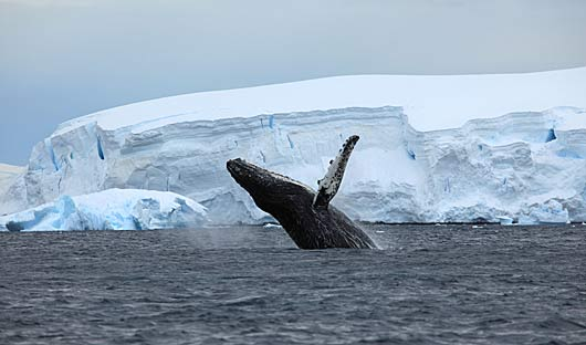 breaching-whale-antarctica