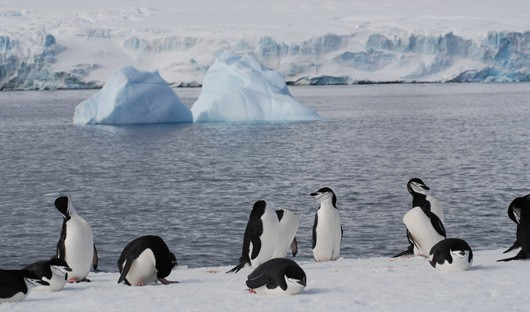 chinstrap-penguins-antarctic-peninsula