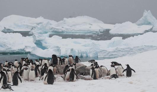 cuverville-island-antarctica-gentoo-penguins-icebergs-alex-burridge