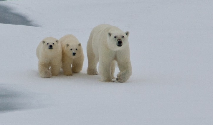 emale Polar bera with two cubs - High Arctic Spitsbergen. Photographer Mark Robinson.