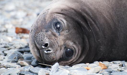 Female-elephant-seal-Alex-B