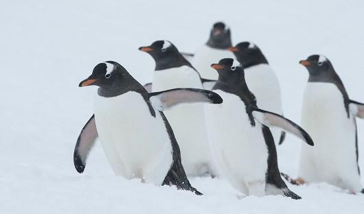 Gentoo Penguins Antarctica XXI