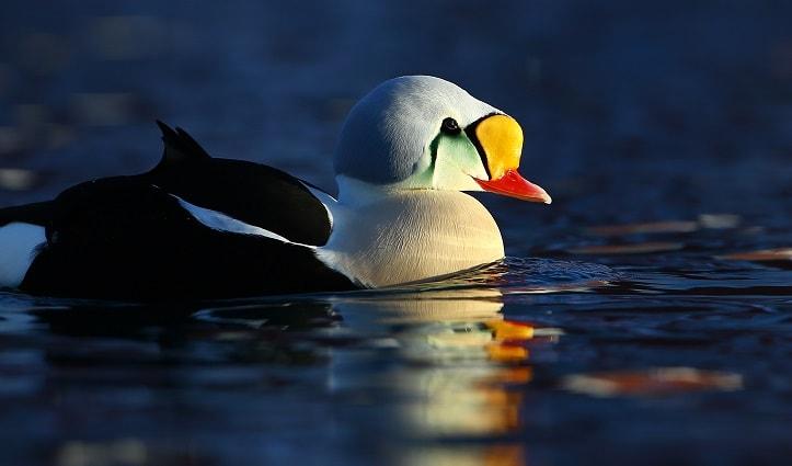 King Eider Duck Svalbard Arctic