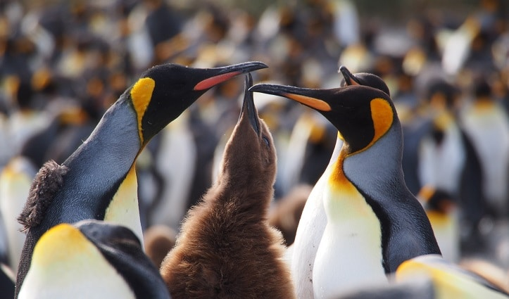 King penguins with chick - South Georgia