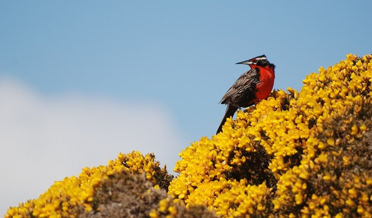 long-tailed-meadowlark-on-gorse-west-point-island-falklands