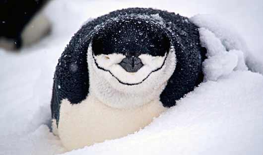 penguin-half-moon-island-15kb