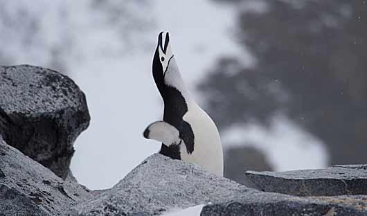 penguin on Antarctica voyage