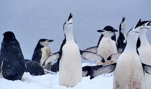 penguins-antarctica-small
