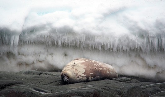 seal-and-ice