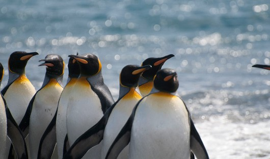south-georgia-king-penguin-salisbury-plain-alex-burridge