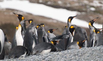 south-georgia-king-penguins-salisbury-plain-alex-burridge