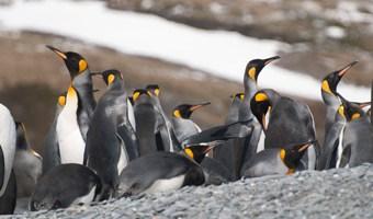 south-georgia-king-penguins-salisbury-plain-alex-burridge