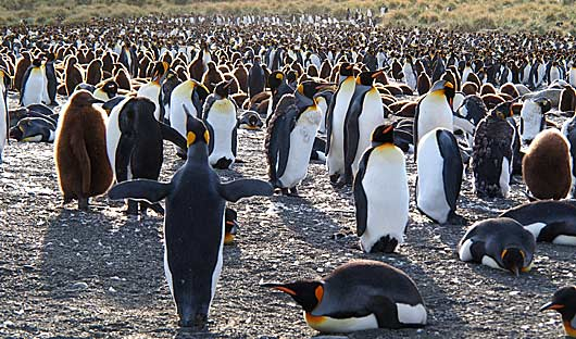 south-georgia-penguins