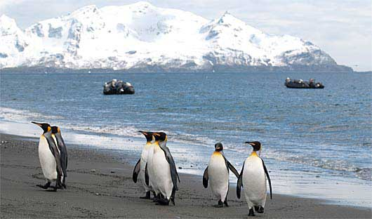 south-georgia-penguins-24kb