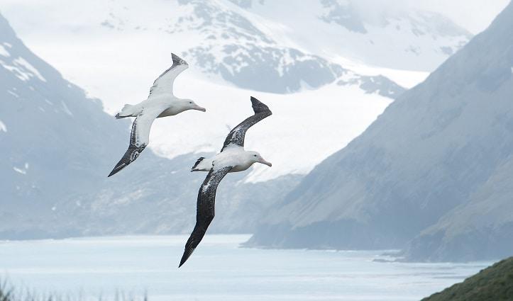 Wandering Albatross - South Georgia