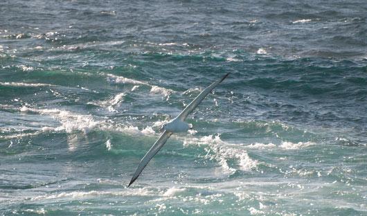 wandering-albatross-at-sea-alex-burridge