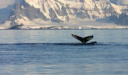 whale Antarctica