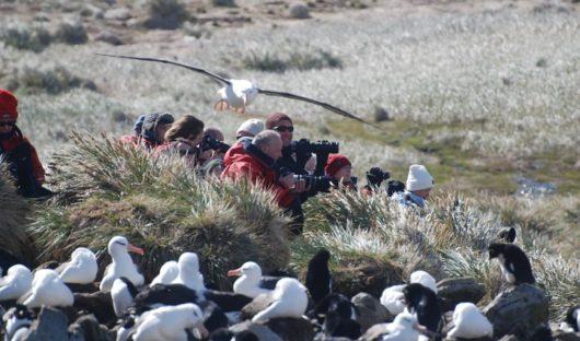 black-browed-albatross-colony-west-point-island-falkland-islands
