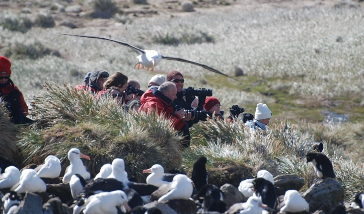 black-browed-albatross-colony-west-point-island-falkland-islands