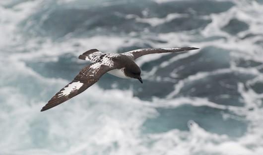 cape petrel following ship Antarctica
