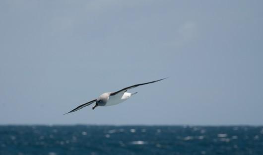 grey-headed-albatross-Drake-Passage