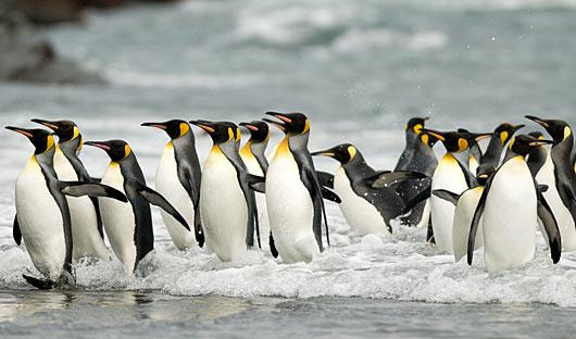 king-penguins-on-beach