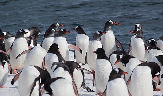 penguins-at-deception-islandn