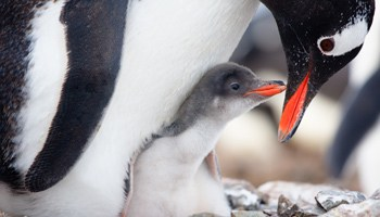 gentoo-and-chick-antarctica