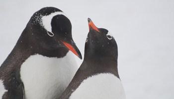 gentoo-penguins-cuverville-island-alex-b