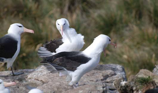 black-browed-albatross-courtship West Point Island Falkland Islands