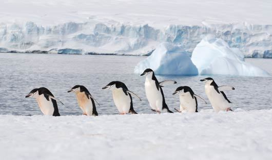 Chinstrap-penguins-Antarctic-Peninsula-Alex-Burridge