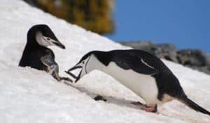 chinstrap-penguins-brown-bluff-antarctic-peninsula-alex-burridge
