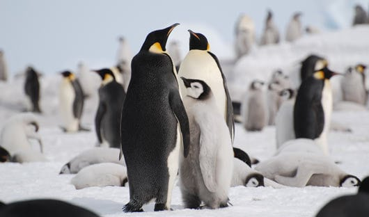 Emperor-penguins-Snow-Hill-Island-Weddell-Sea