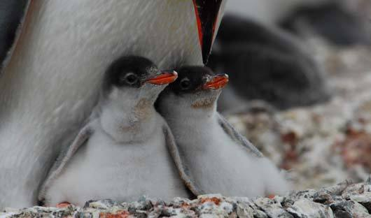gentoo-penguins-chicks-antarctic-peninsula