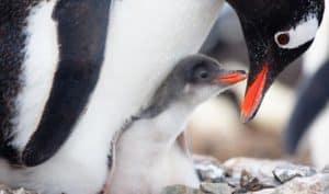 gentoo-penguin-and-chick-antarctic-peninsula