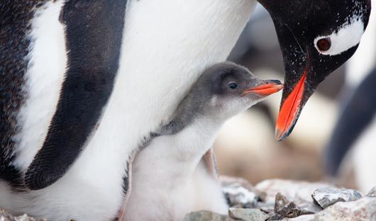 gentoo-penguin-and-chick-antarctic-peninsula