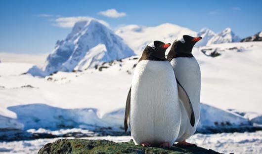 Gentoo-penguins-Antarctic-Peninsula