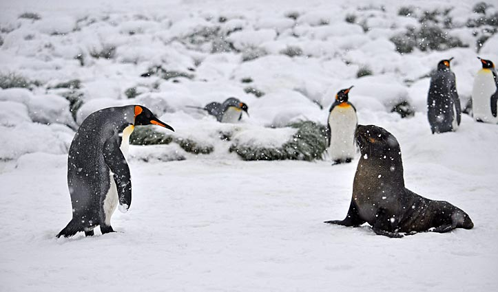 king-penguin-and-seal