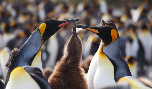 king-penguins-with-chick-south-georgia