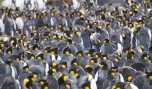 King penguins huddle during malt on South Georgia