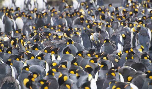 King penguins huddle during malt on South Georgia