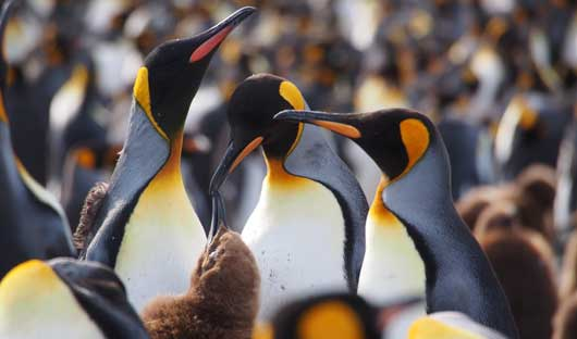 kings-penguins-and-chicks-south-georgia
