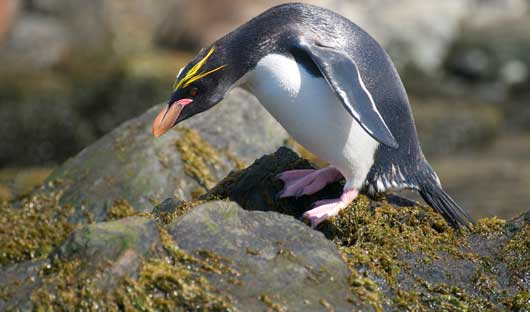 Macaroni-Penguin-Cooper-Bay-South-Georgia-Alex-Burridge.