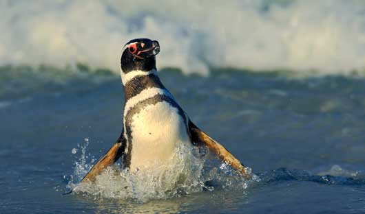 Magellanic-Penguin-Falkland-Islands